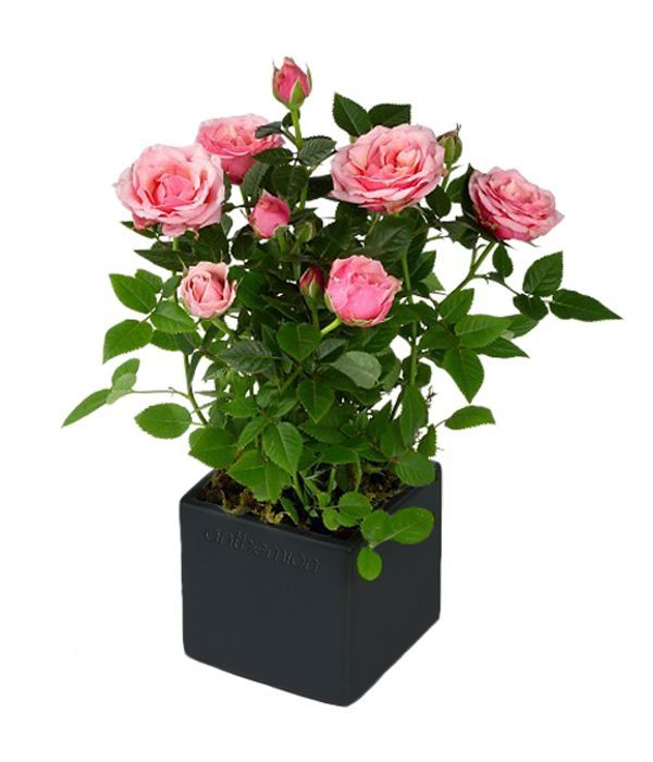 Pink rose plant in cube