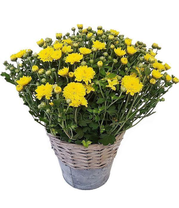 Chrysanthemum, The Plant Of Autumn