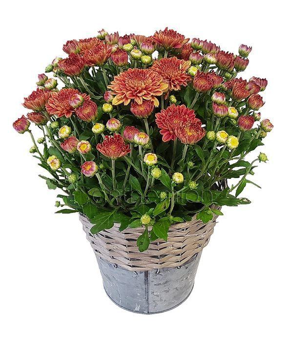Red Chrysanthemum Plant
